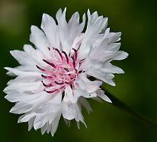 Cornflower by Chrissie Taylor