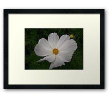 A Delicate Flower  Framed Print