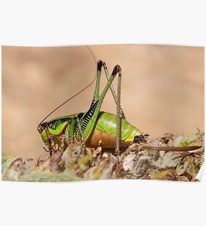 Decticus verrucivorus - Greek Wart Biter Cricket Poster