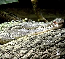 Philippine Crocodile (Crocodylus mindorensis) by nellie11