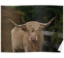 Highland Cattle on the Isle of Skye Poster