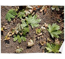 Top view of several green fallen maple leaves closeup Poster