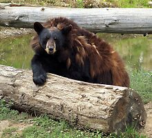 Black Bear losing it's coat by vette