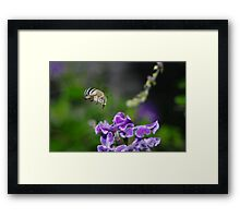 The Blue Banded Bumble Bee Framed Print