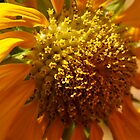 Sunflower by leprosa