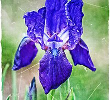 Iris by AdornmentPhotog