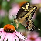 Giant Swallowtail Butterfly by Gregg Williams
