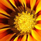 Orange Gazania daisy by TeAnne