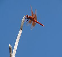 DragonFly by RFA-Photography