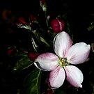 apple blossom by Heike Nagel
