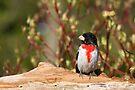 Rose-breasted Grosbeak (male) by Renee Dawson