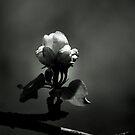 Apple Blossom by Renee Dawson