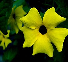 Thunbergia Flowers by Rewards4life