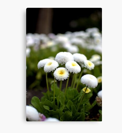 White Flowers - Sefton Park, Liverpool, England Canvas Print