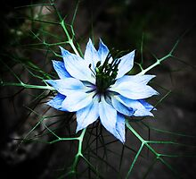 Love-in-a-mist by Rewards4life