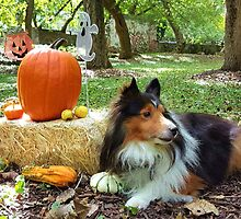 Sheltie With Pumpkins by jkartlife