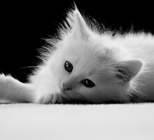 Adorable White Kitten by Renee Dawson