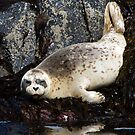 Reflected Harbor Seal by Randall Ingalls