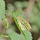 Green Veined White Butterfly by dilouise
