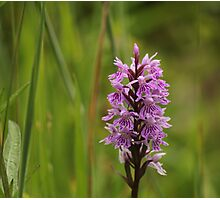 Common Spotted Orchid, Dactylorhiza fuchsii,  Upper Teesdale, England Photographic Print