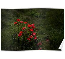 a Group of Poppies Poster