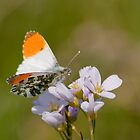 Orange-tip Butterfly on Cukoo flower by Margaret S Sweeny