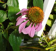Cone Flower by charmedy