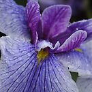 Passionate Purple by christiane