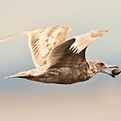 Gull with Clam by David Friederich