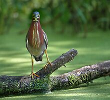 Do Herons Blink?  / Green Heron by Gary Fairhead