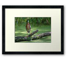 Do Herons Blink?  / Green Heron Framed Print