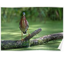 Do Herons Blink?  / Green Heron Poster