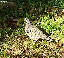 'Brush Bronzewing' by Brien Bland
