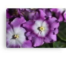 Mauve & White Bi-colour African Violets  Canvas Print