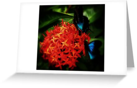 Red Ixora with Blue Dancers by Tanya Rossi