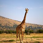 Giraffe - Akagera National Park by Josh Marten