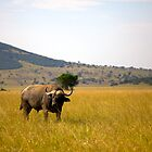 Water Buffalo - Akagera National Park by Josh Marten