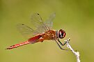 Red Veined Darter Dragonfly by thatche2