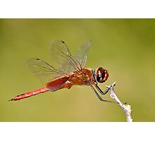 Red Veined Darter Dragonfly Photographic Print
