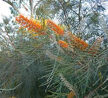 Glorious Grevilleas! by Kay Cunningham