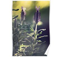Lavender in Morning Light Poster