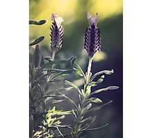 Lavender in Morning Light Photographic Print