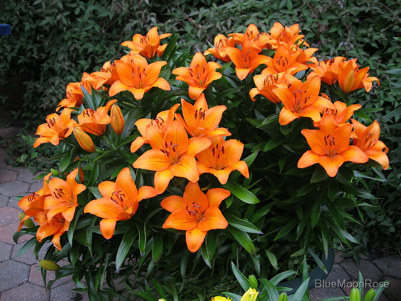 Splash of Colour - 'Victory Joy' Lilies by BlueMoonRose