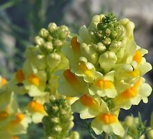 Butter-and-Eggs- Linaria vulagris by Tracy Faught