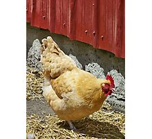 MS. Cluck Photographic Print