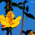 Yellow Hibiscus at State Capitol by Julie Everhart