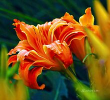 Tiger Lilly in Kentucky by Julie Everhart