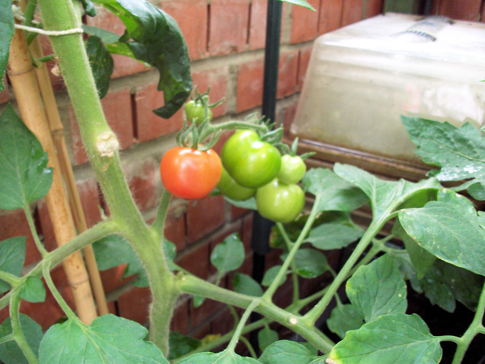 The first ripe Tomato by GEORGE SANDERSON