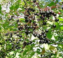 The black inviting fruits of the common elder by DAL LIPTROT