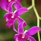 Orchid Fading Away by Sunshinesmile83